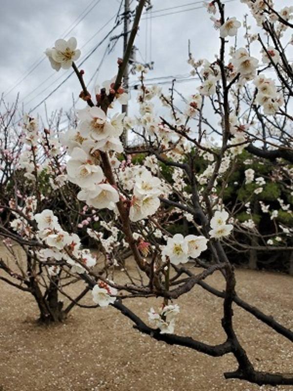 春の行事 第10弾「梅の装いまつり 興除公民館」